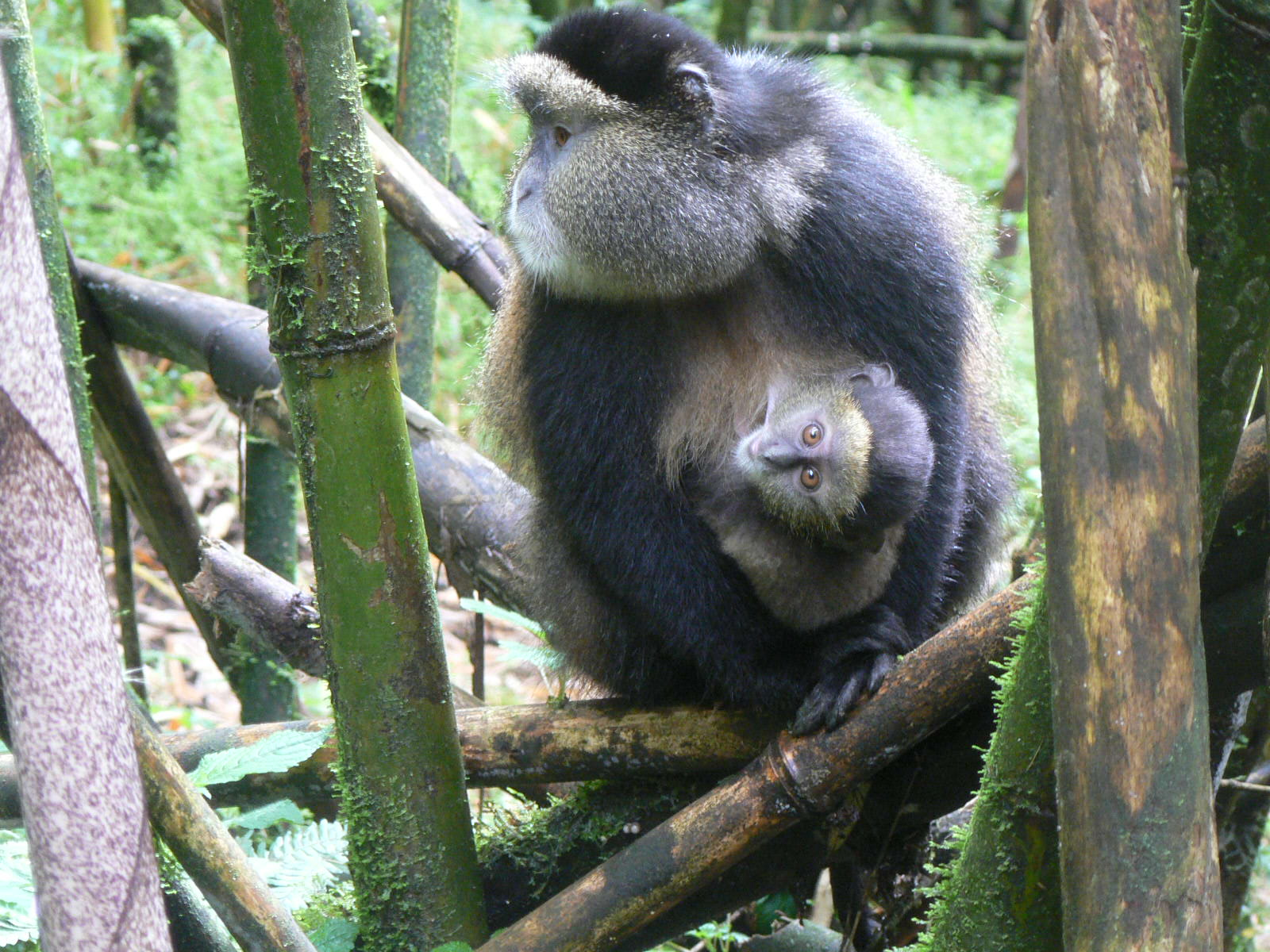 2 Days Golden Monkey Trekking Safari in Rwanda
