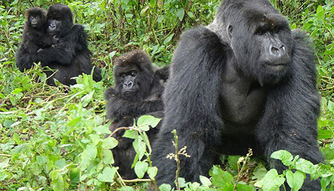 3 Days Primate Tracking Rwanda Safari