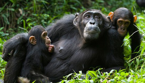 5 Days Chimpanzees Trekking Wildlife Safari