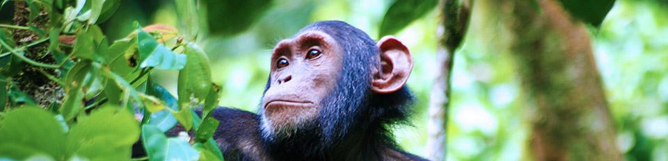 2 Days Nyungwe Chimpanzee Tracking Rwanda Safari