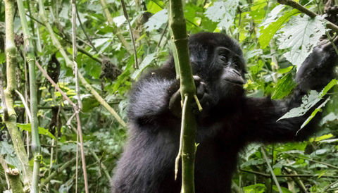 3 Days Rwanda Gorilla Tracking it can inlude also Golden monkey trekking