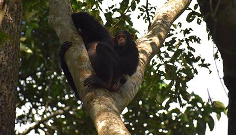 8 Days Uganda Primate Tracking and Wildlife Tour
