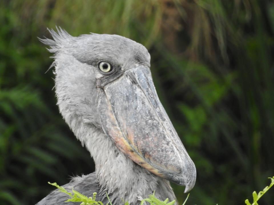 1 Day Bird Watching at Mabamba Wetlands