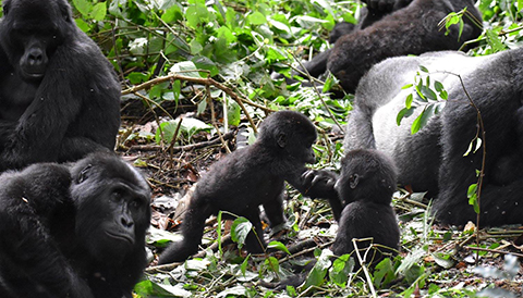 4 Days Double Gorilla Trekking Safari in Uganda