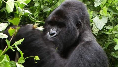 2 Days Uganda Gorilla Trekking Safari