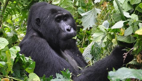 12 Days Gorilla Trekking Safari
