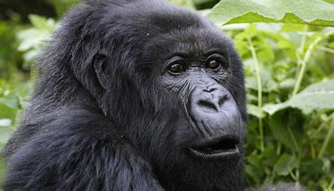 1 Day Gorilla Trekking in Rwanda, it can be extended to golden monkey trekking