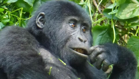 4 Days Gorilla Trekking Safari in Rwanda can be extended also to Golden monkey trekking