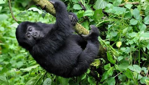 11 Days Uganda Rwanda Primate Adventure Safari