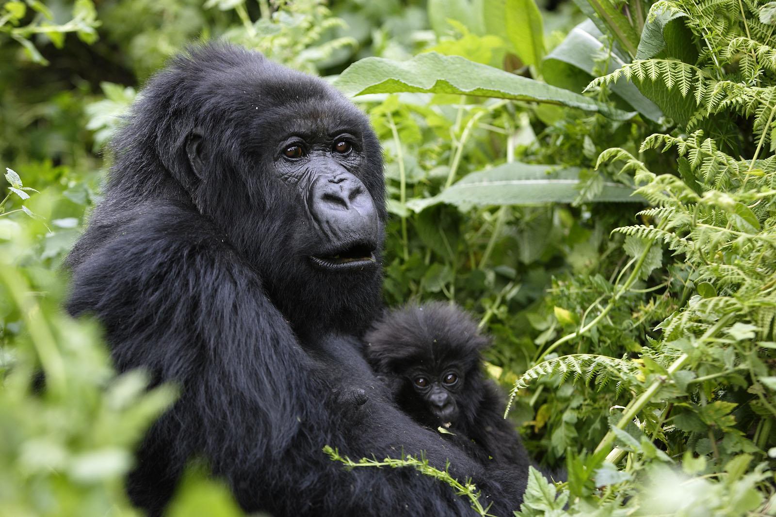 5 Days Uganda Primate Tracking Safari