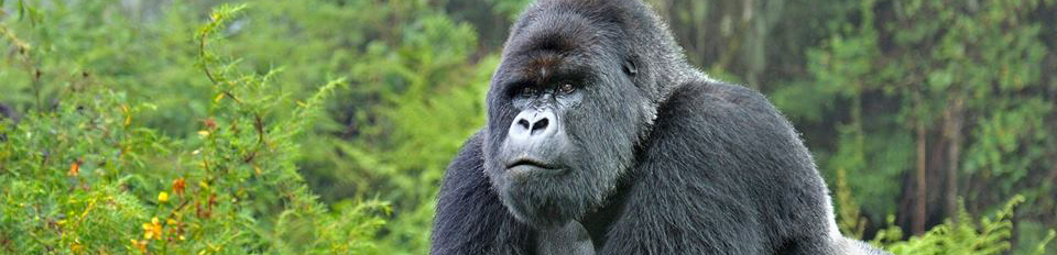 Gorilla trekking in the Volcanoes National park